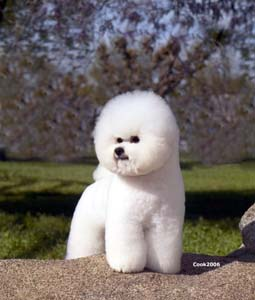 Jake   has now been awarded Bichon Frise Akc